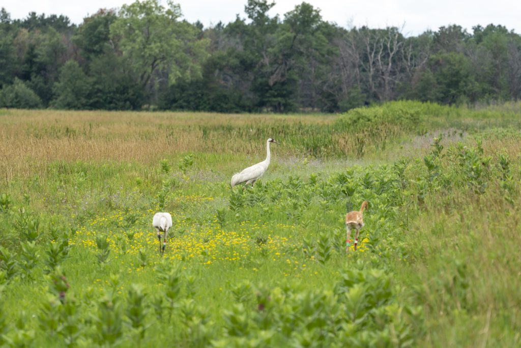 Whooping Crane Family (1 of 1)
